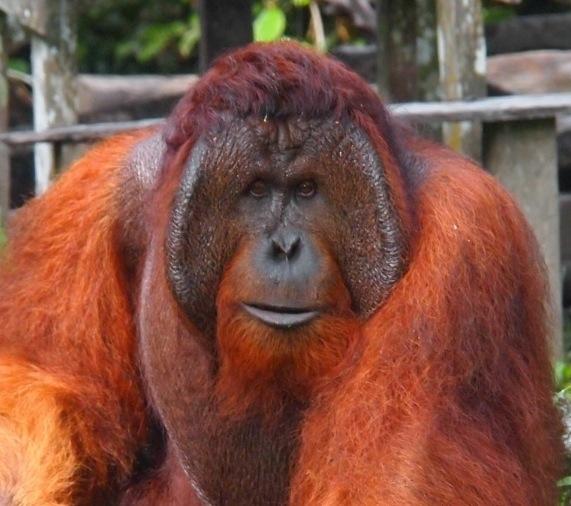 Pongo-pygmaeus-männchen-indonesien