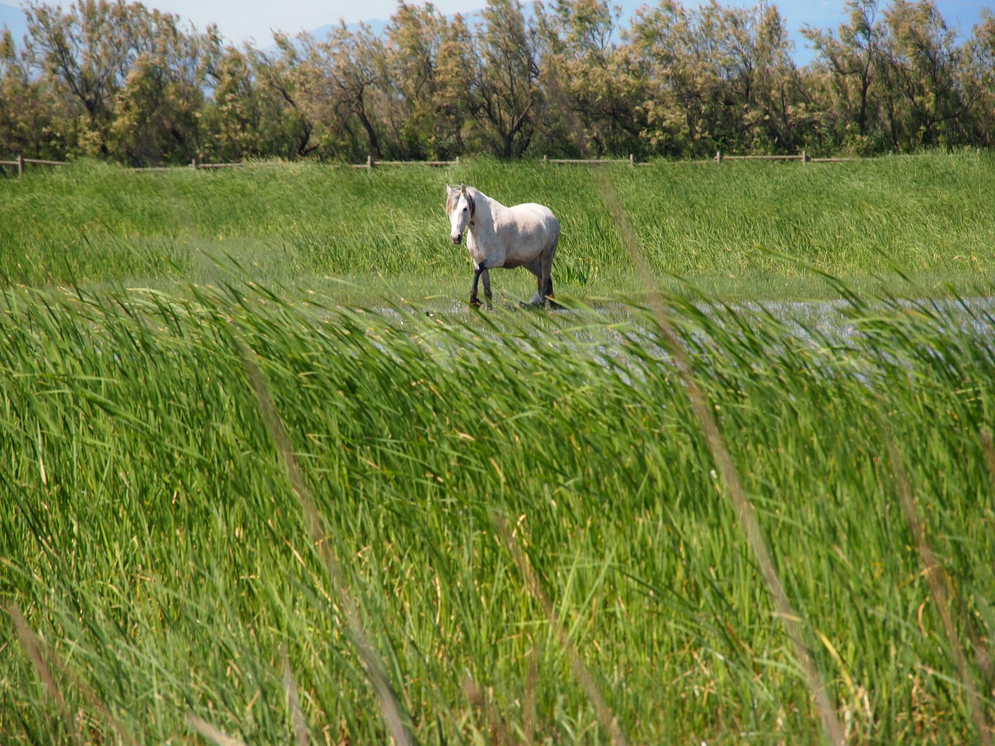 Aiguamolls Pferd