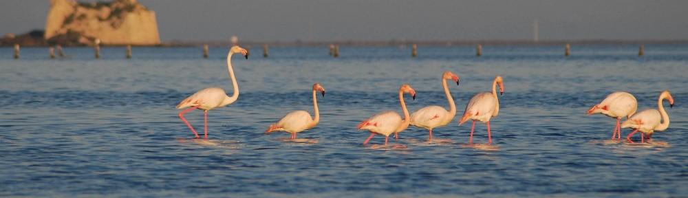 Delta del Ebro Flamingos