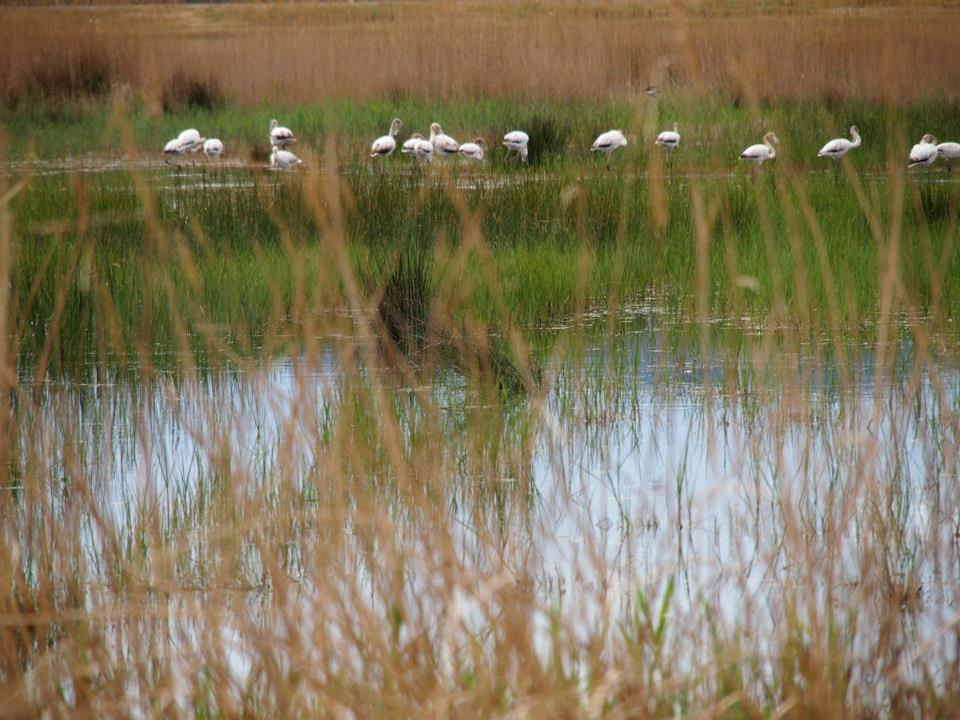Flamingos Ebro Delta