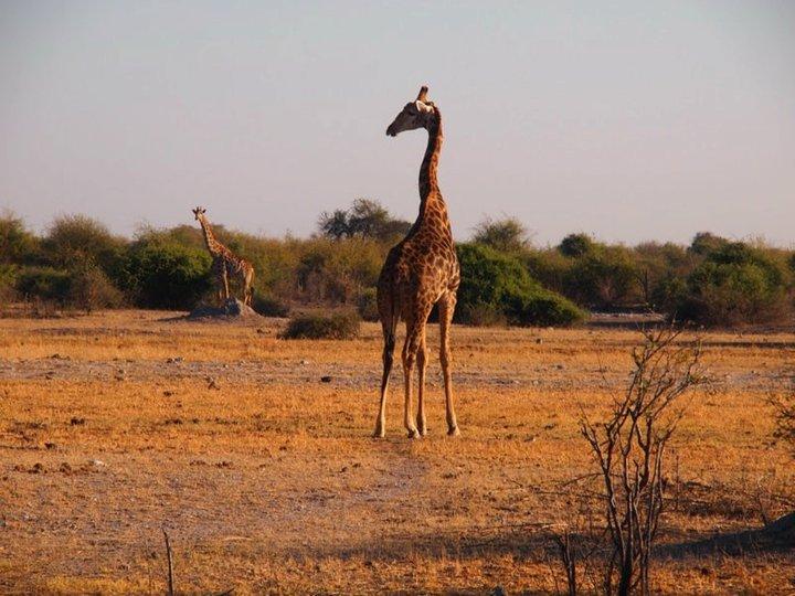 Giraffen Afrikareise