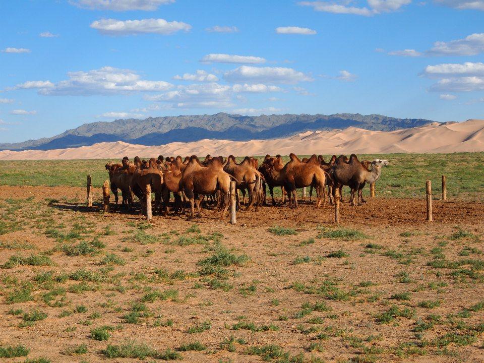 Kongor sanddüne Kamele