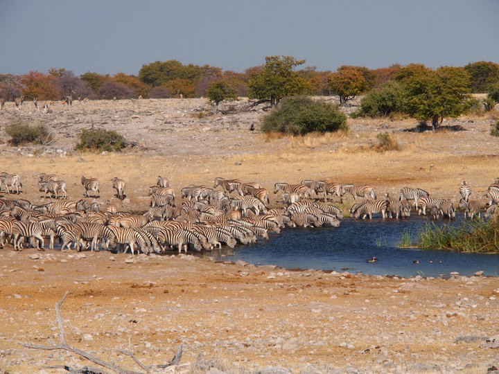Nationalpark Etosha Namibia Zebras