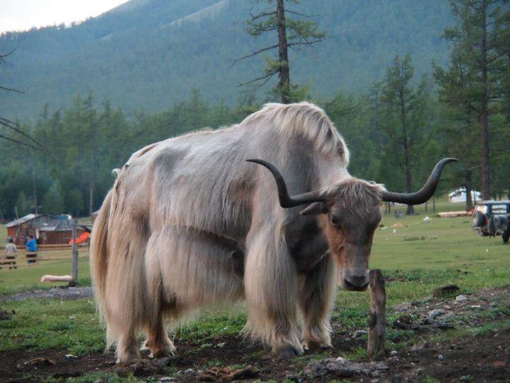 Yak Mongolei Sibirien