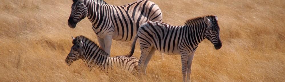 Zebras Afrika
