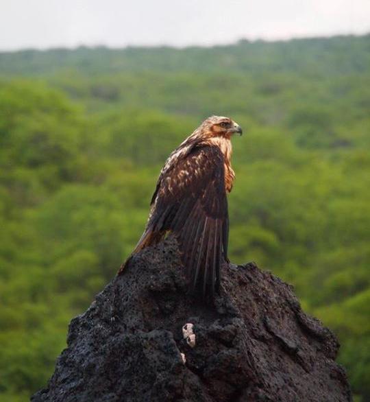 wpid-Galapagos-Falke.jpeg