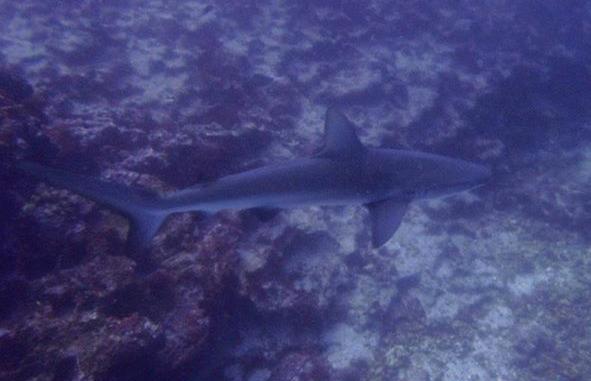 Galapagoshai Carcharhinus galapagensis