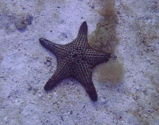 Panama Kissenstern Panamaischer Noppen-Seestern Pentaceraster cumingi