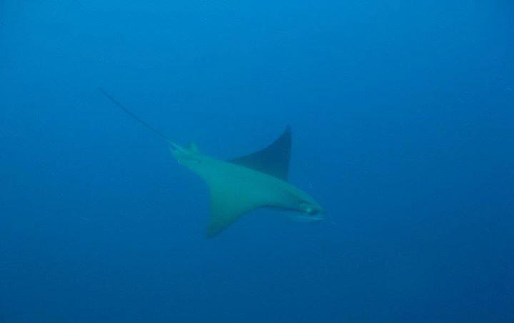 Mobula tarapacana Tarapacana Teufelsrochen Galapagos