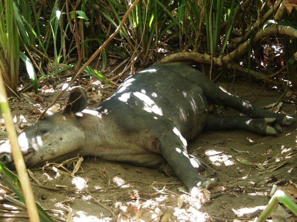 Tapir Weltreise