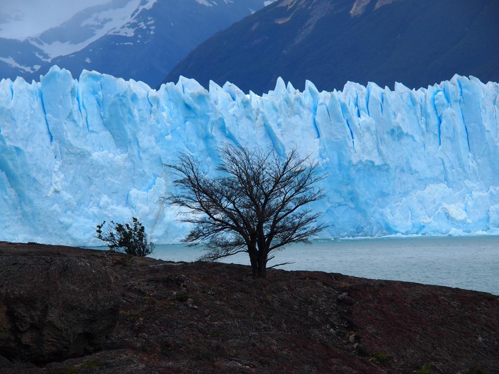 Baum Perito Moreno