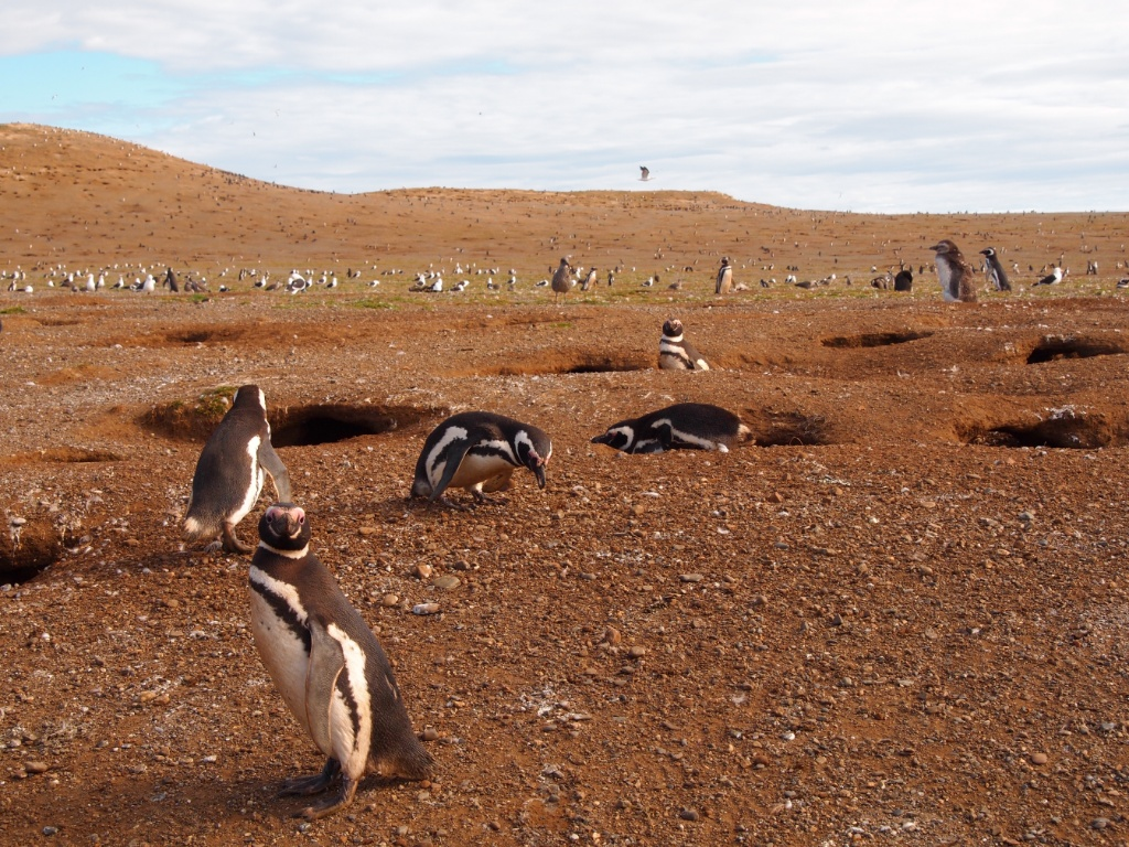 pinguine chile