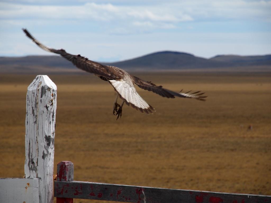 greifvogel flug