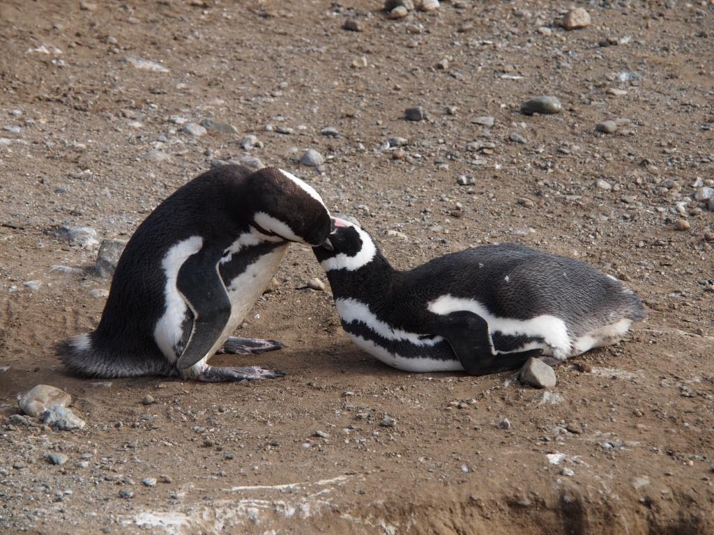 kuss pinguin