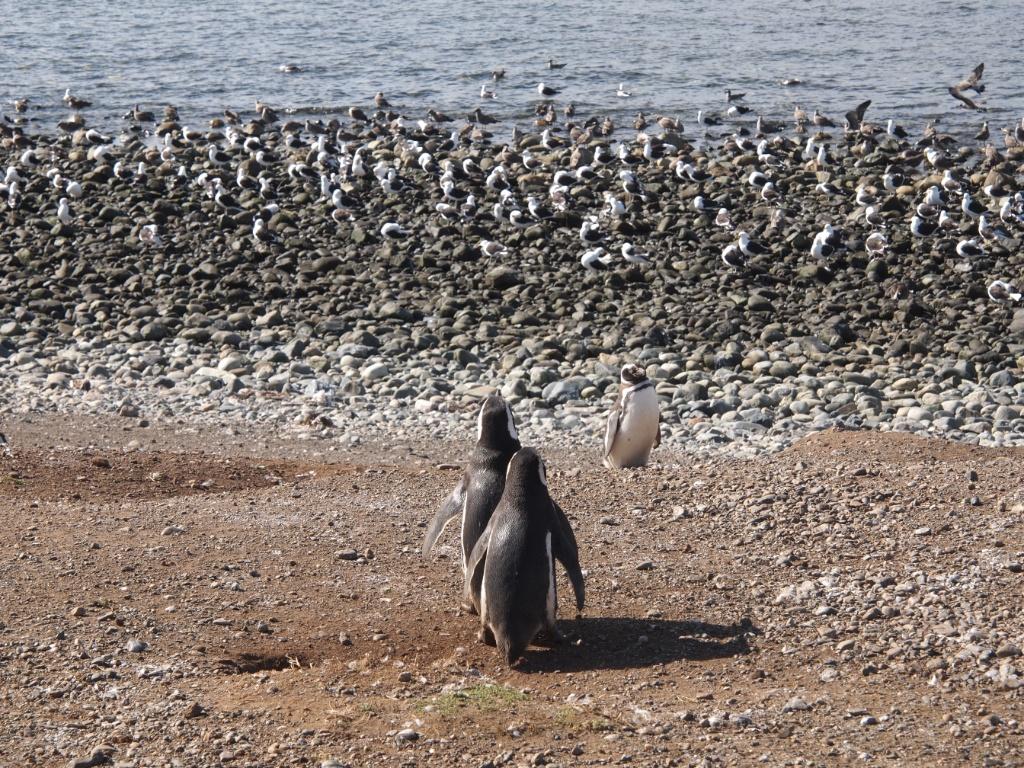 pinguin pärchen