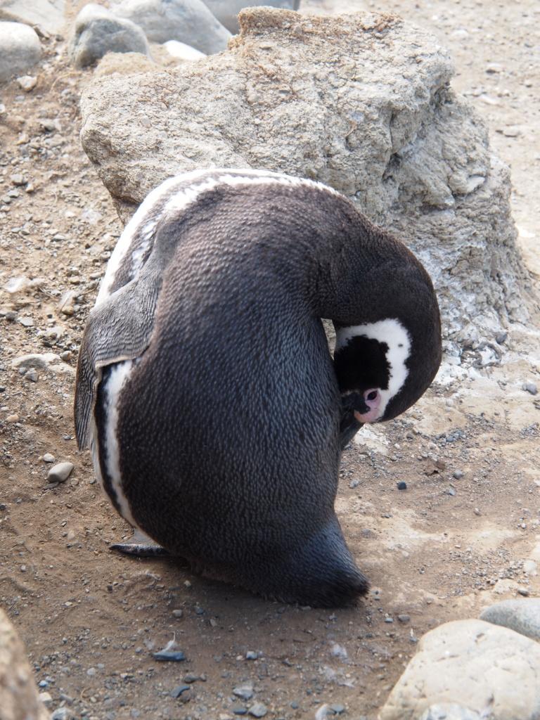 putzen pinguine