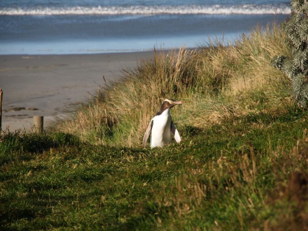 Pinguin otago