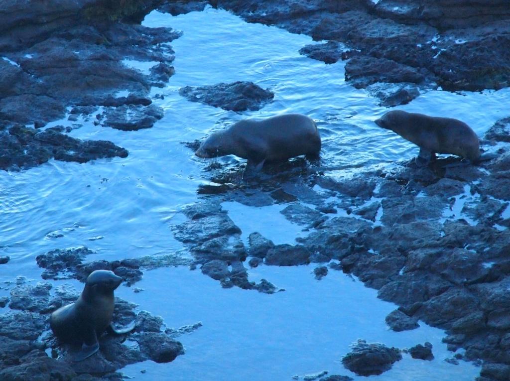 Seehunde dunedin