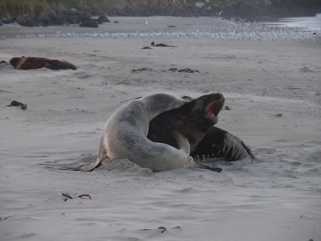 Seelöwen kampf neuseeland