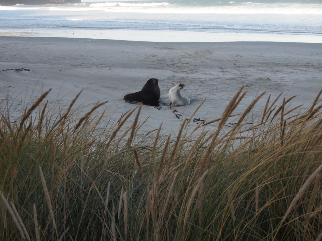 Seelöwen pärchen otago