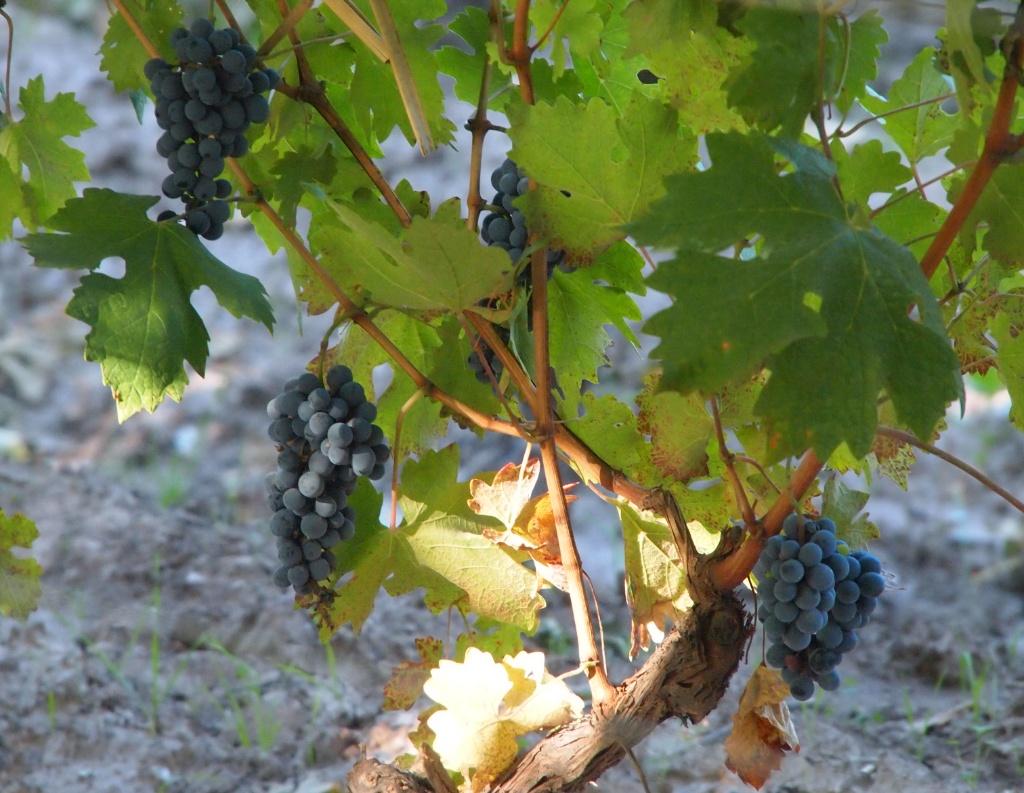 Weintrauben Mendoza Weltreise