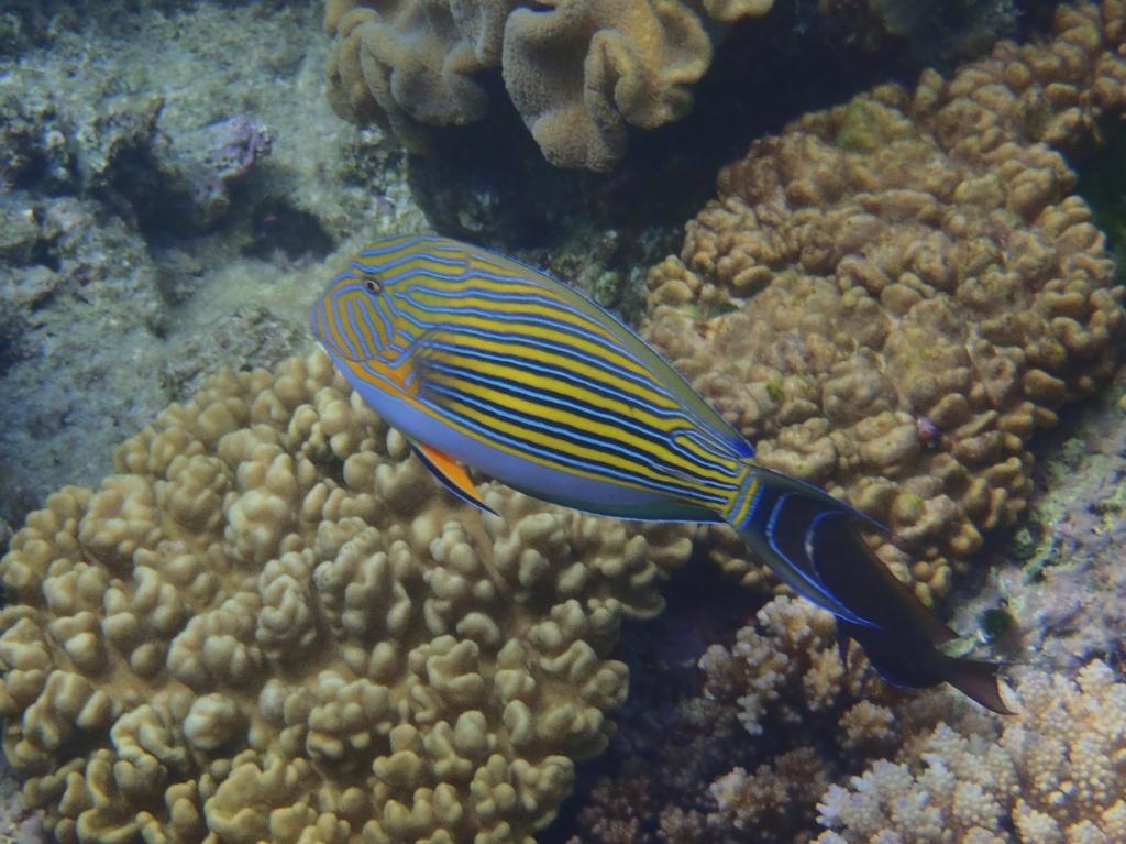 _ Acanthurus lineatus (Blaustreifen Doktorfisch)-
