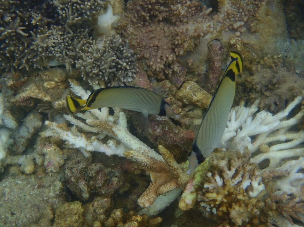 Butterfische chaetodon queenland-