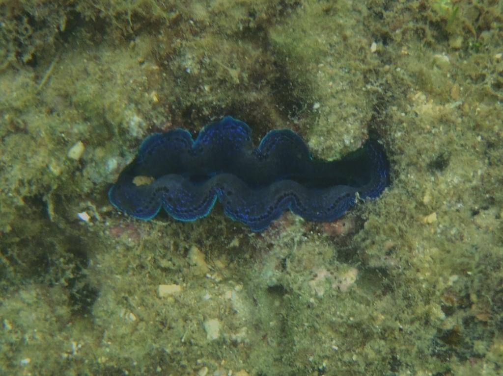 Blaue Muschel