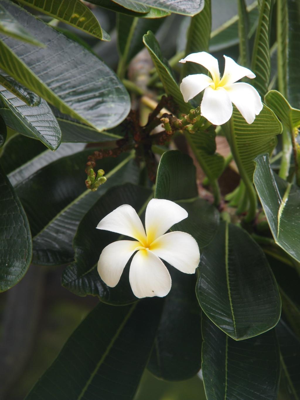 Blumen australien