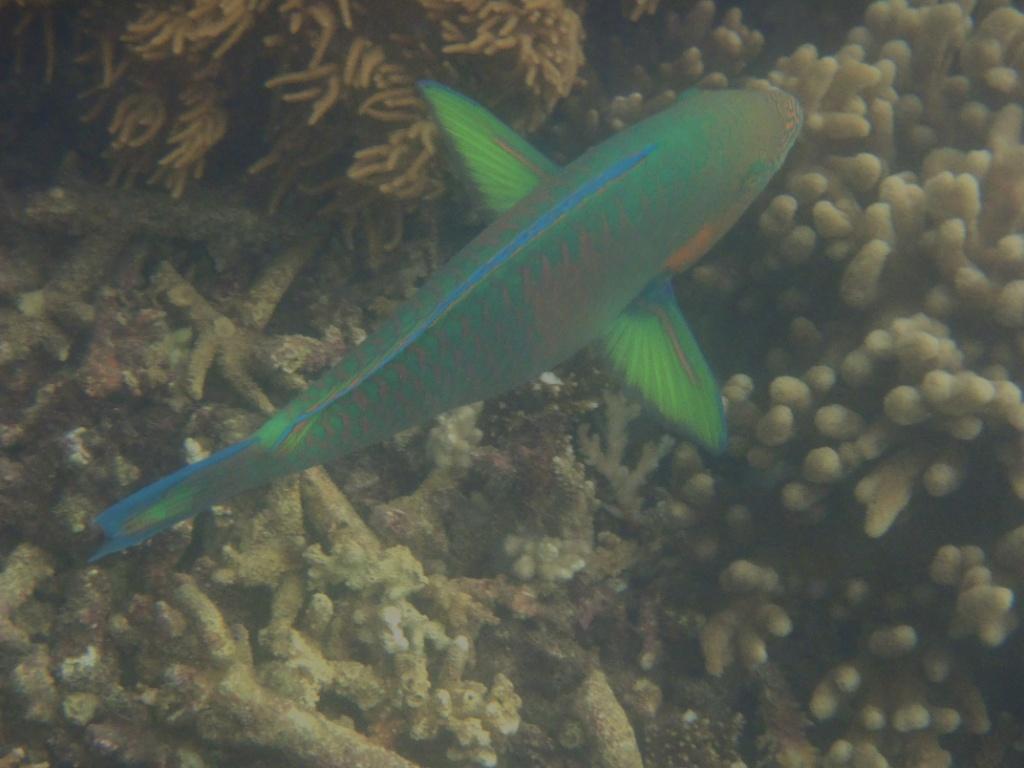 _fitzroy island papageienfisch-