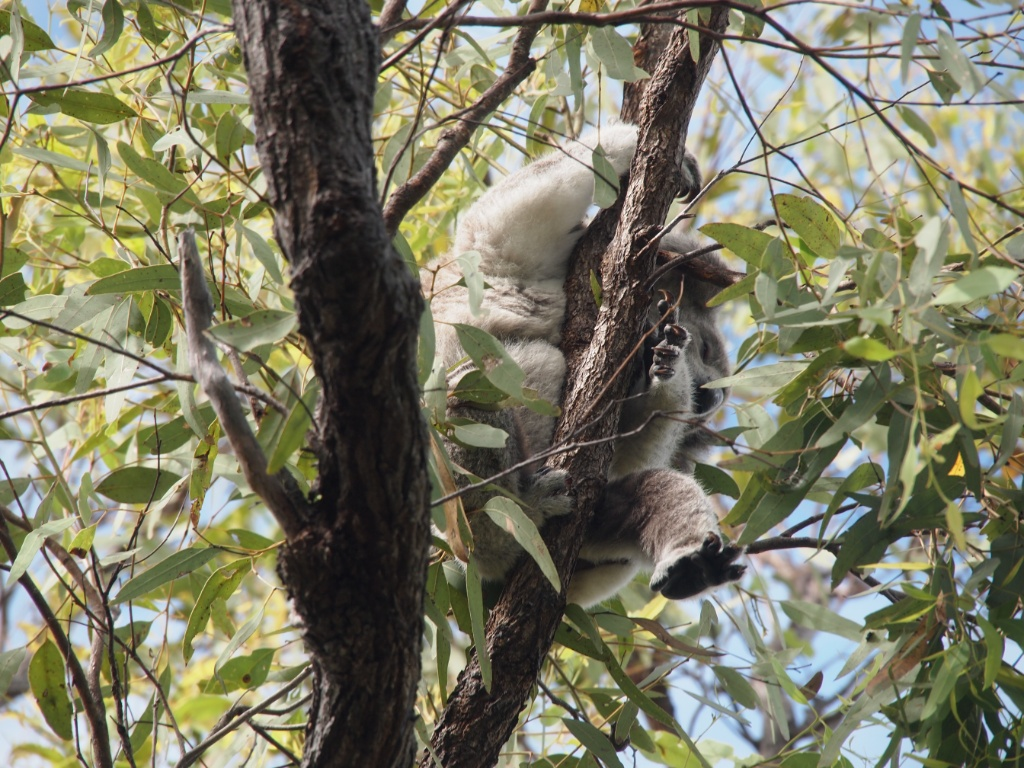 Hängender koala