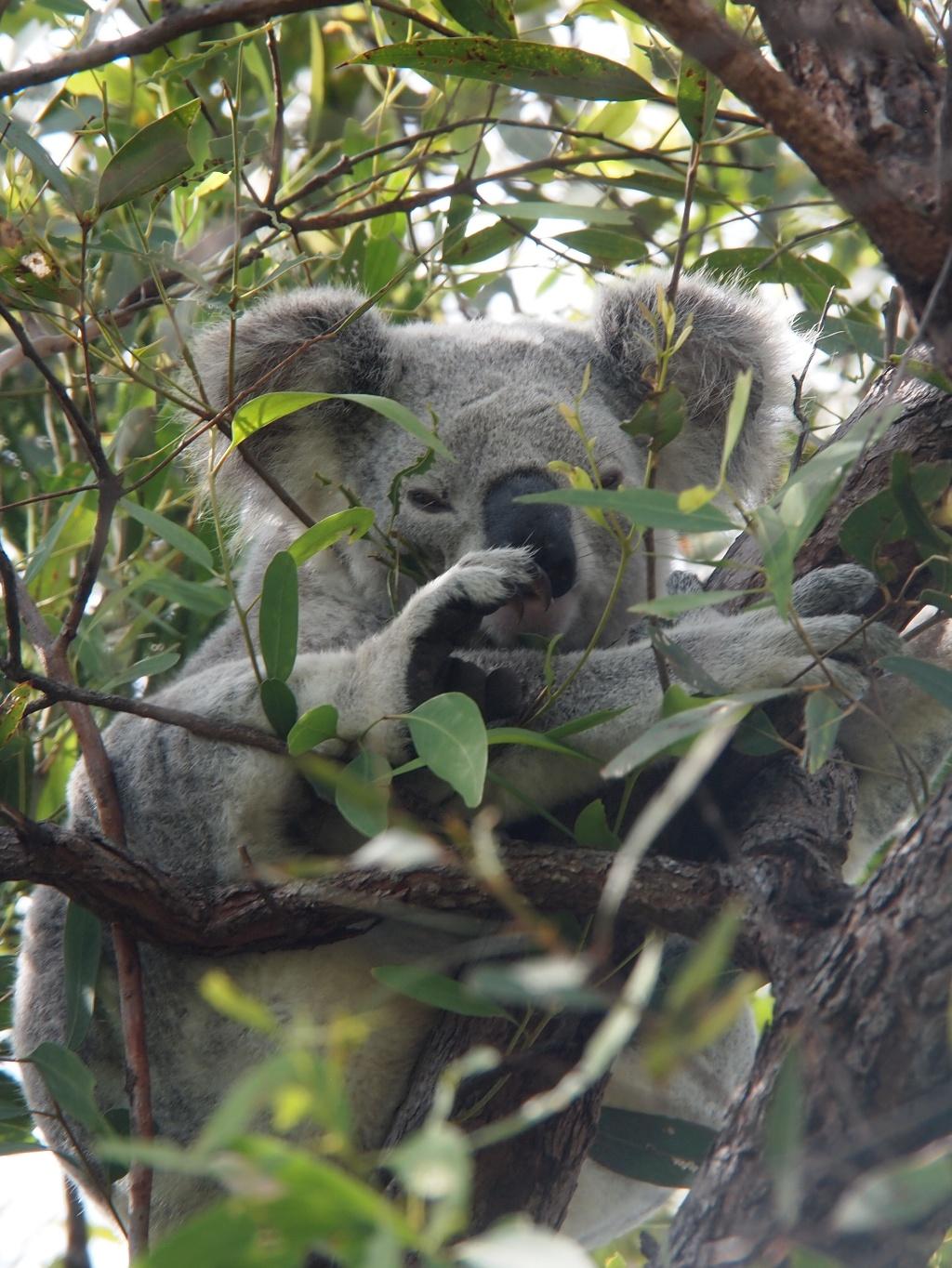 Koala bär australien