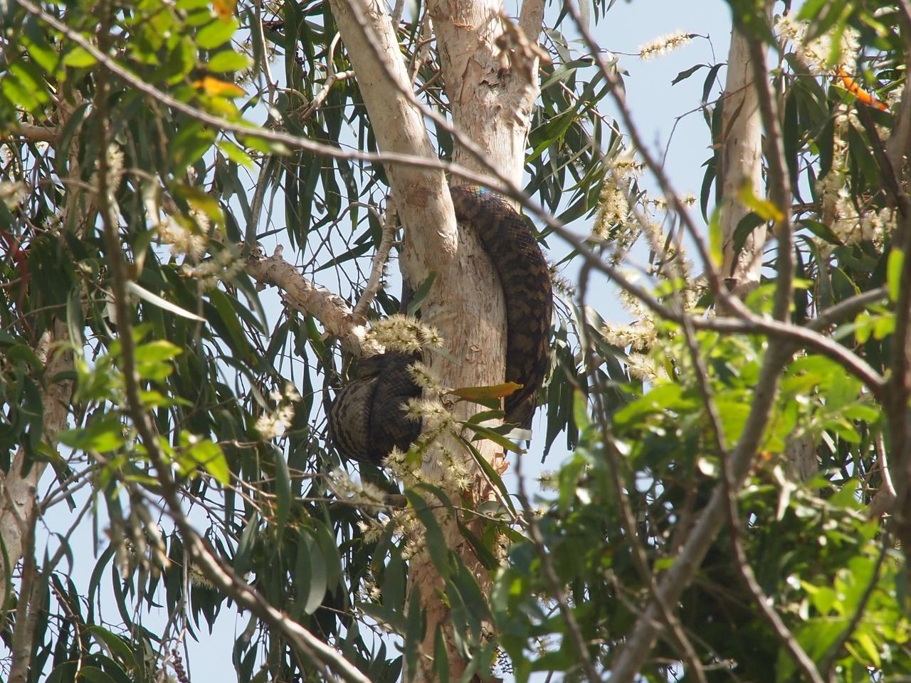 neuguinea amethystpython australien