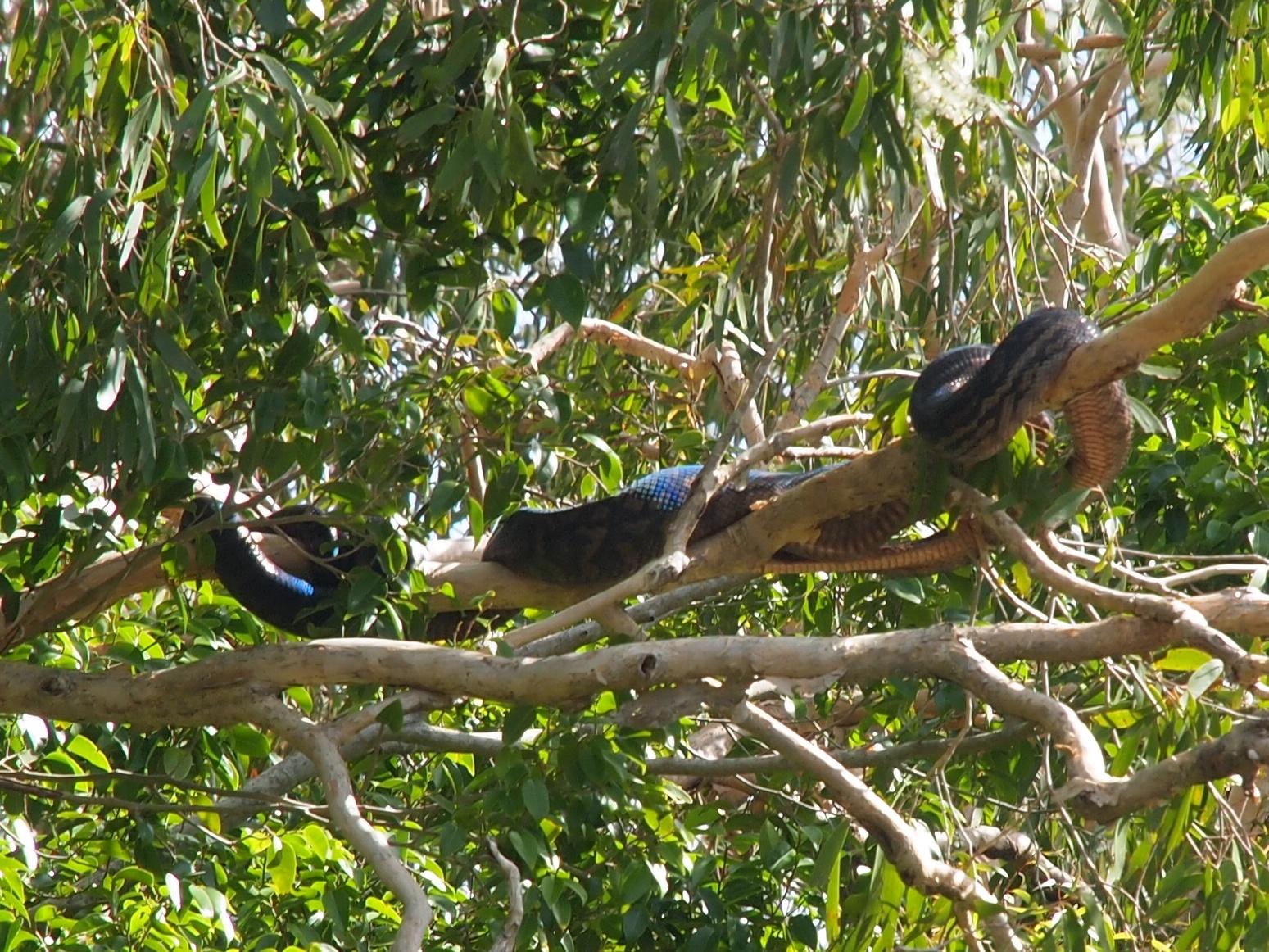 neuguinea amethystpython australien port douglas