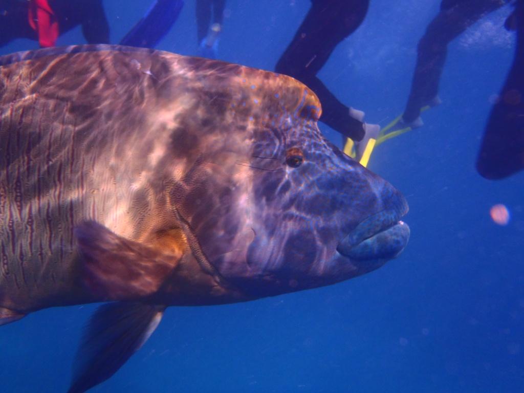 Riesenfisch australien schnorcheln