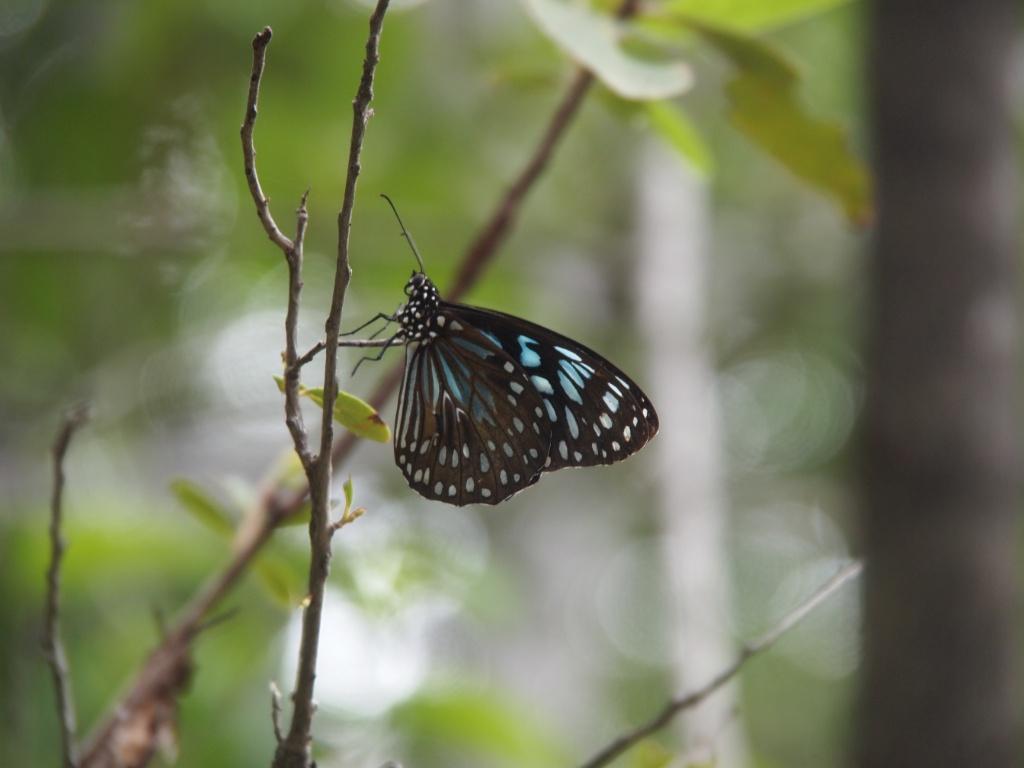Schmetterling australien