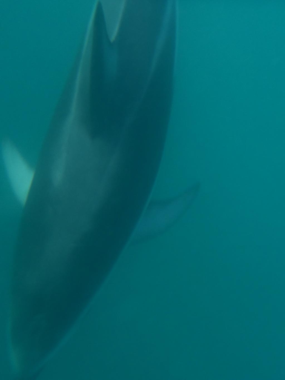 Schwarzdelfin kaikoura