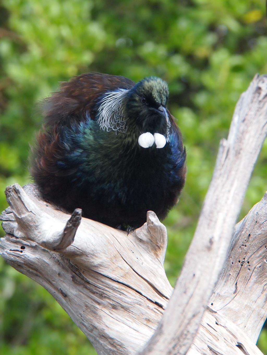 Tui vogel neuseeland