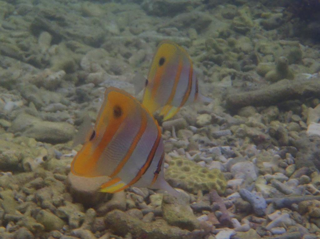 Chelmon rostratus (Orangebinden-Pinzettfisch oder Kupferbinden-Pinzettfisch)