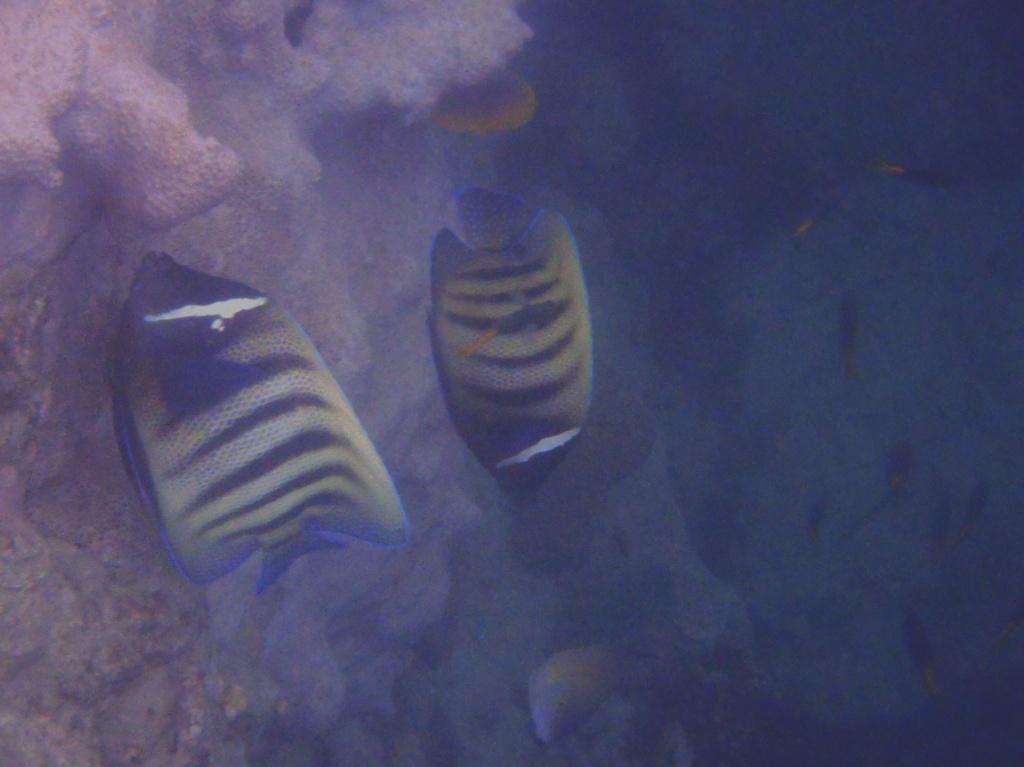 -Pomacanthus-sexstriatus-Sechsbinden-Kaiserfisch