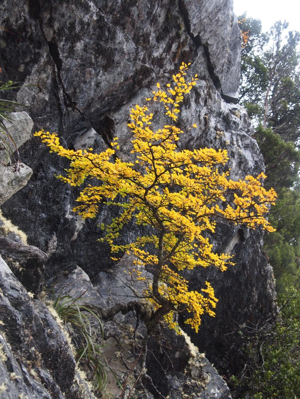 Laubbaum buche fagus tasmanien