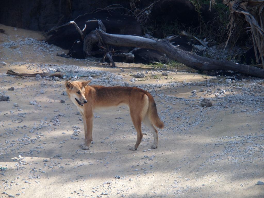 fraser island dingo-