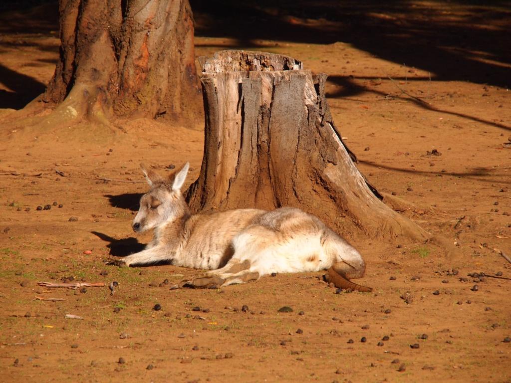 Känguru park
