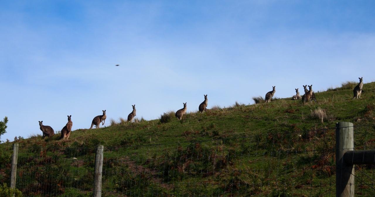 Känguru weltreise