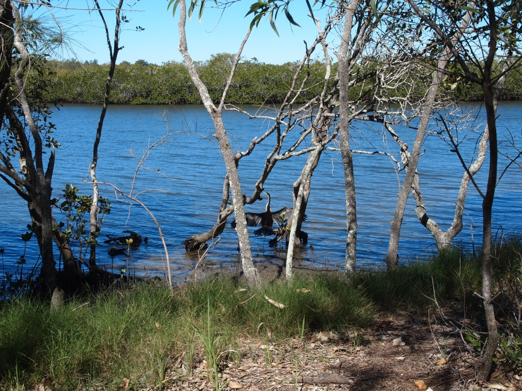 mangroven noosa-