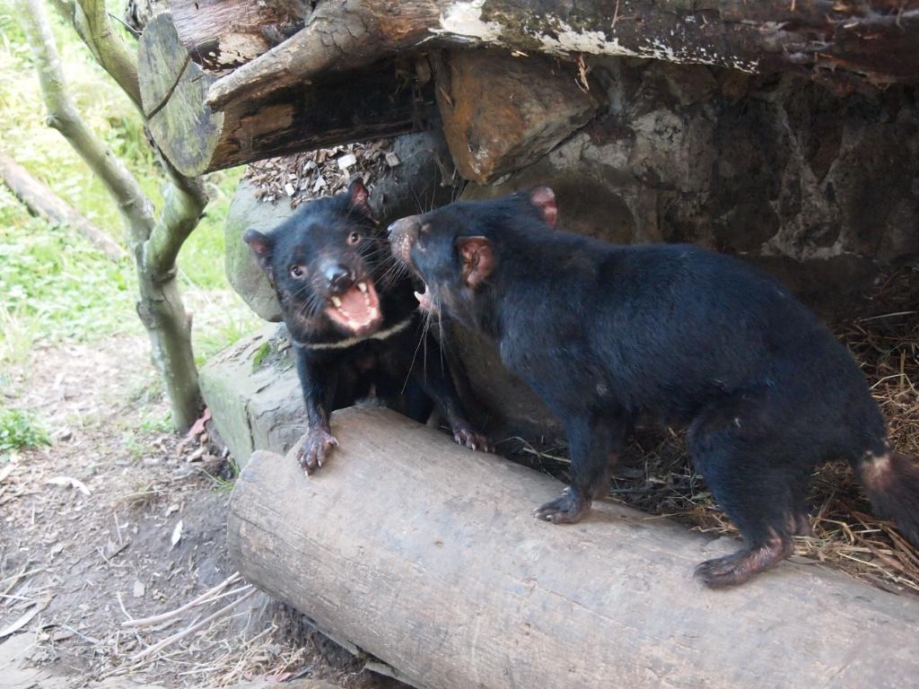 tasmanische-teufel