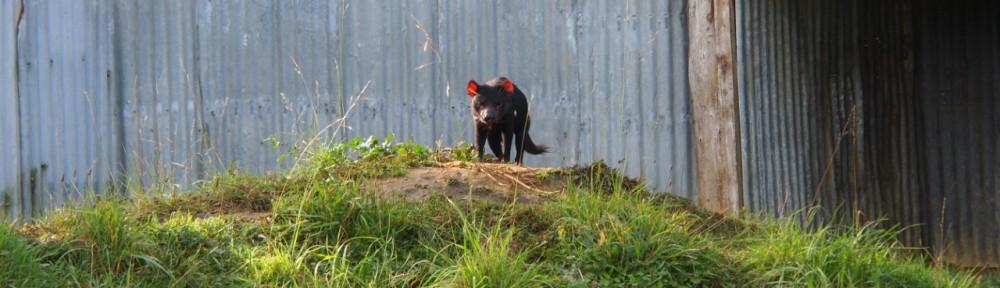 tasmanischer-teufel-weltreise