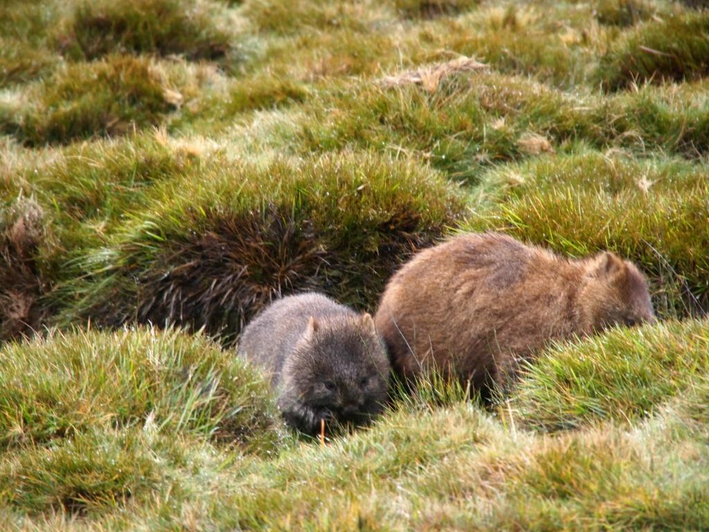 Wombat beutelratte cradle