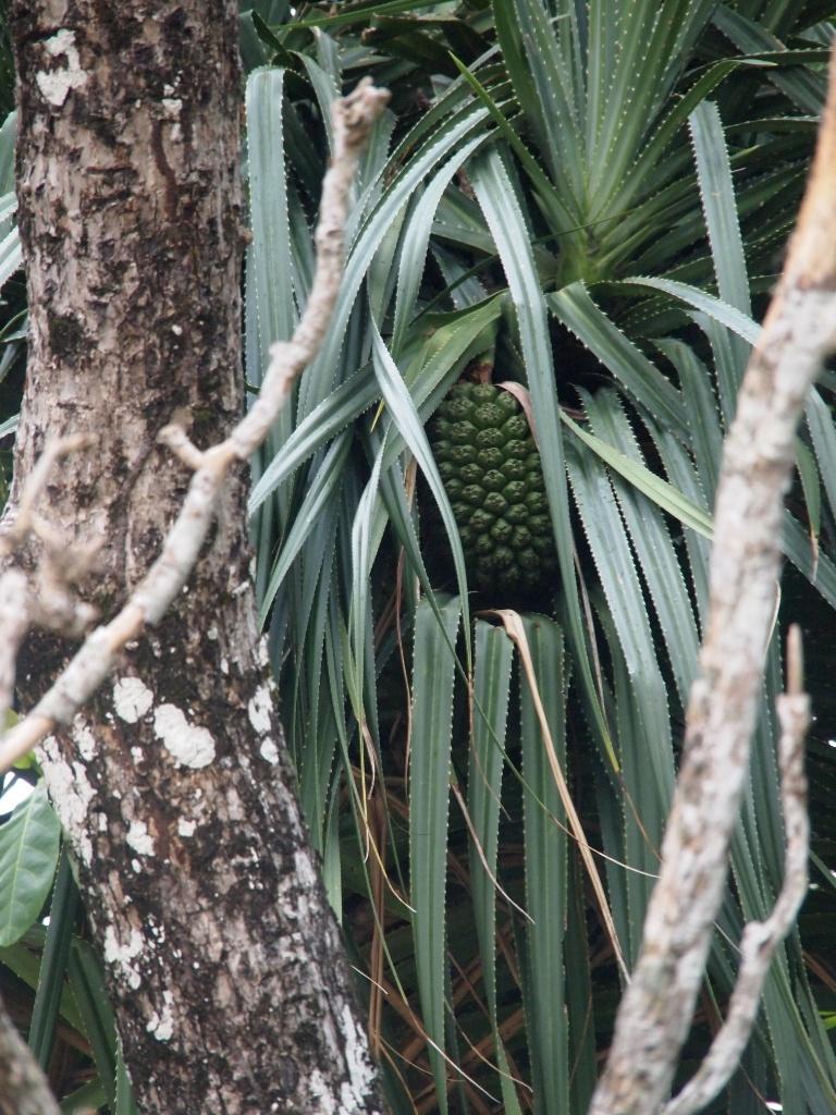 Ananaspflanze malaysia