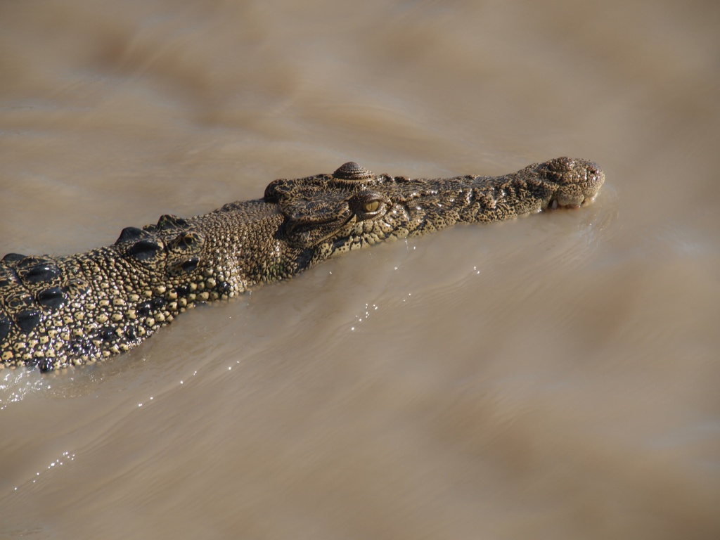 Crocodylus-porosus-darwin